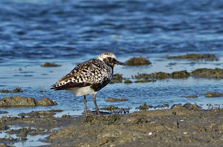 pacific golden plover breeding