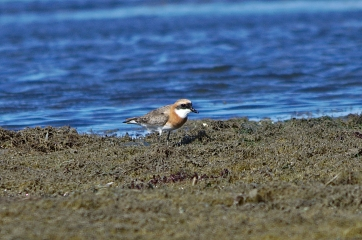 lesser sand plover in breeding