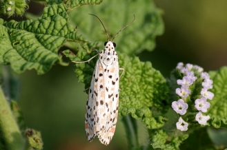crimson-speckled moth