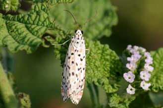 crimson-speckled moth