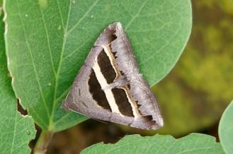 grammodes geometrica (moth)