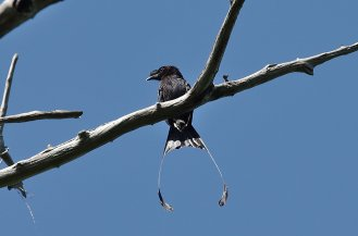 Greater racket-tailed drongo.