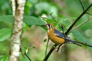 Orange-headed thrush.