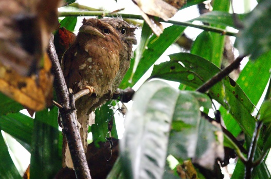 A pair of frogmouths.