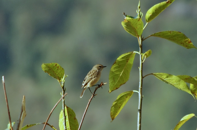 asian/siberian stonechat