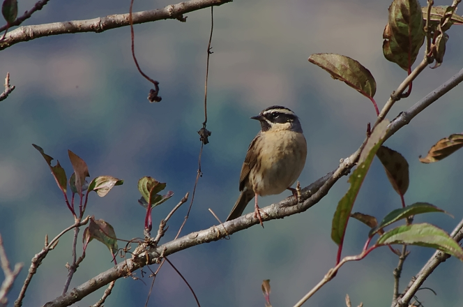 black-throated accentor
