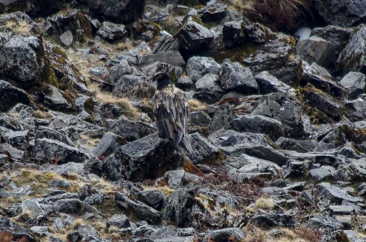 lammergeier or bearded vulture juvenile