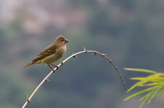 common rosefinch female