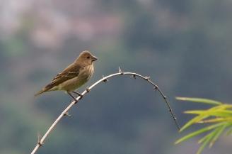 common rosefinch female