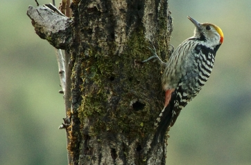 brown-fronted pied woodpecker