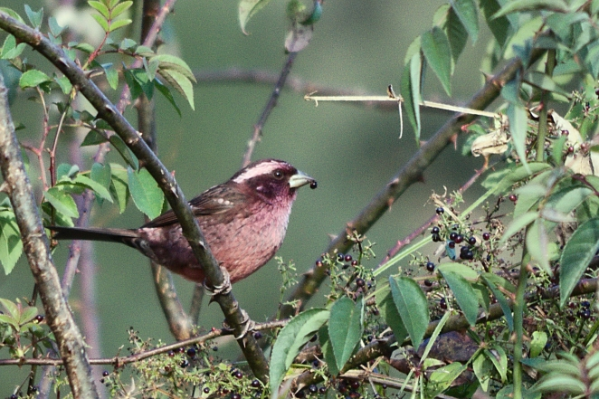 white-browed rosefinch male