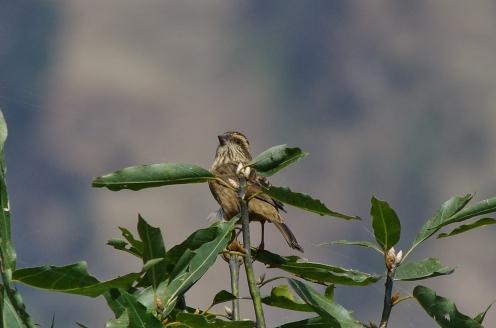 white-browed rosefinch female