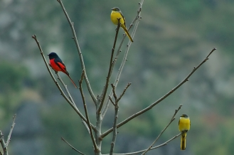 scarlet minivet male and two females