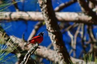scarlet minivet male