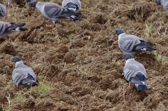 a flock of snow pigeons