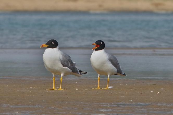a pair of pallas' gull
