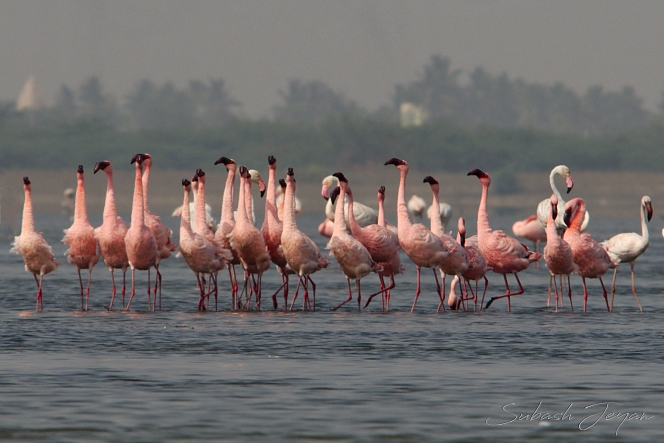 courtship dance, lesser flamingo