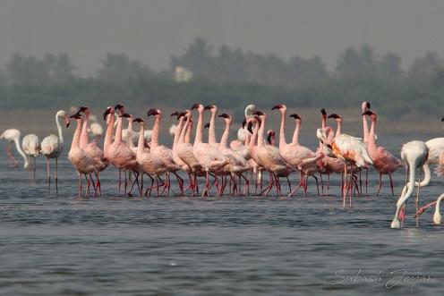 courtship dance, lesser flamingo
