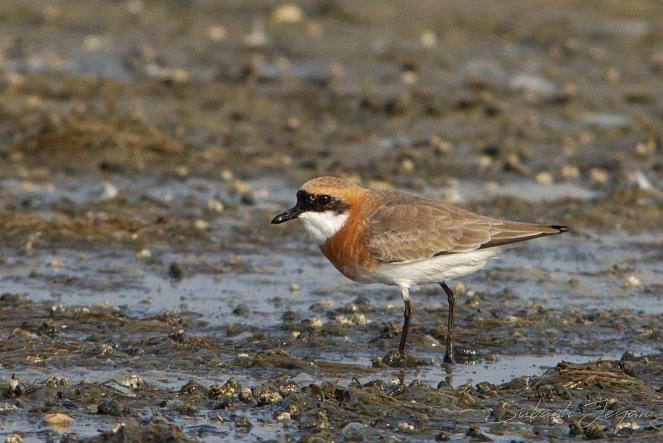 lesser sandplover, in breeding plumage