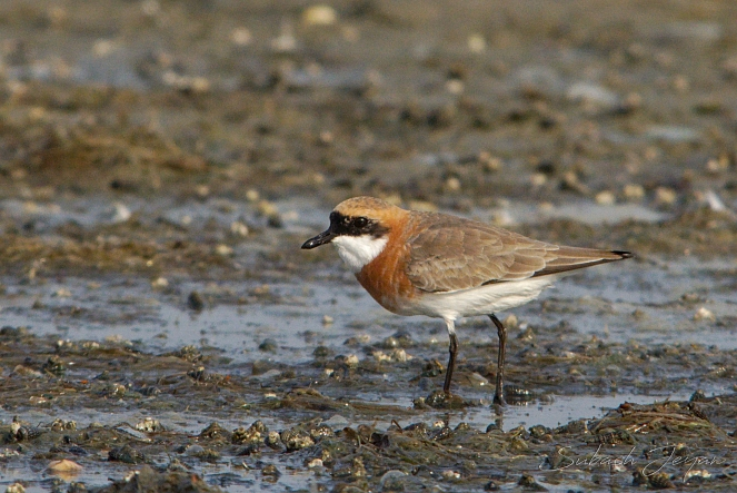 lesser sandplover, in breeding plumage