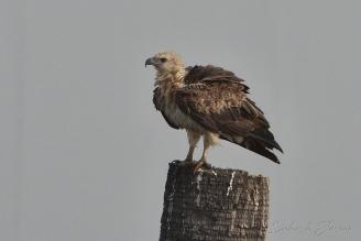 white-bellied sea eagle, juv