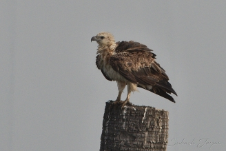 white-bellied sea eagle, juv