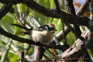 black-throated tit, juvenile