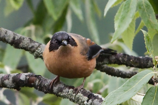 rufous sybia