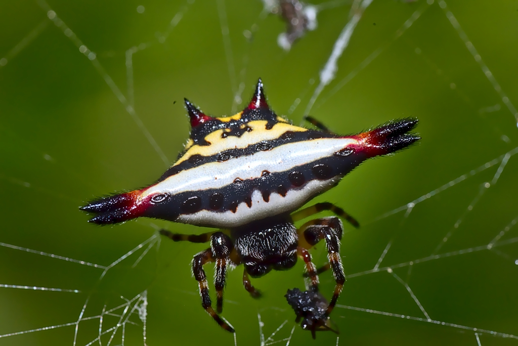 spiny orb-weaver